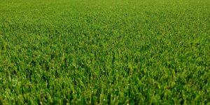 Bunbury Natural Grass close up